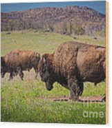 Grazing Bison Wood Print