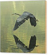 Great Blue Fly-by Wood Print