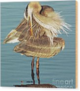 Great Blue Heron Ardea Herodias Preening Wood Print