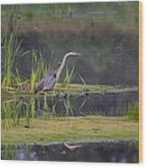 Great Blue Heron At Down East Maine Wetland Wood Print