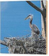 Great Blue Heron Chick Wood Print