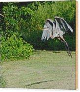 Great Blue Heron In Flight 6 Wood Print