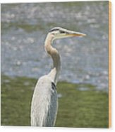 Great Blue Heron In Light  Wood Print