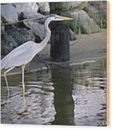 Great Blue Heron - Mealtime Wood Print