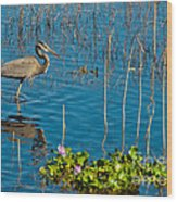 Great Blue Heron Wading II Wood Print