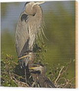 Great Blue Heron With Chicks Florida Wood Print