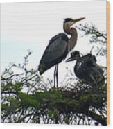Great Blue Heron With Fledglings II Wood Print