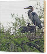 Great Blue Heron With Fledglings Wood Print