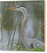 Great Blue In The Reeds Wood Print