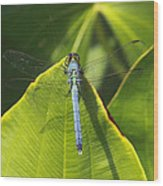 Great Blue Skimmer Wood Print