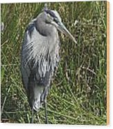 Great Blue Waiting For Prey Wood Print