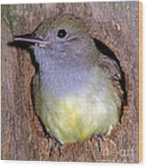 Great Crested Flycatcher In Nest Cavity Wood Print
