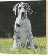 Great Dane Puppy Wood Print
