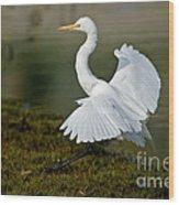 Great Egret Alighting Wood Print