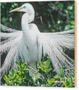Great Egret Displaying Breeding Plumage Wood Print