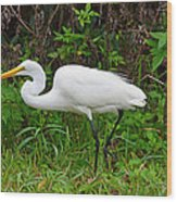 Great Egret Feeding Wood Print