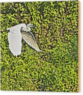 Great Egret Flying Over Rapti River In Chitwan Np-nepal Wood Print