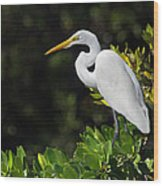 Great Egret In The Florida Everglades Wood Print