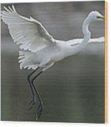 Great Egret Landing Sarawak Borneo Wood Print