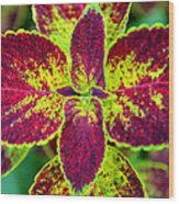 Great Expectations Coleus Wood Print