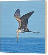 Great Frigate Bird Wood Print