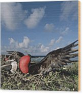 Great Frigatebird Female Eyes Courting Wood Print