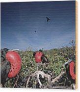 Great Frigatebird Males In Courtship Wood Print