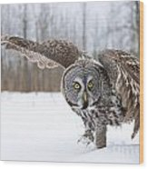 Great Gray Owl Pictures 658 Wood Print