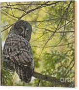 Great Gray Owl Pictures 779 Wood Print