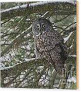 Great Gray Owl Pictures 780 Wood Print