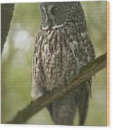 Great Gray Owl Pictures 823 Wood Print