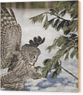 Great Grey Owl Pictures 23 Wood Print