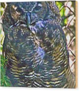 Great Horned Owl In Salmonier Nature Park-nl Wood Print