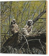 Great Horned Owlets 1 Wood Print