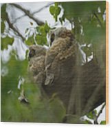 Great Horned Owlets 5 20 2011 Wood Print