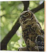 Great Horned Youngster Wood Print