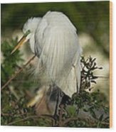 Great Egret Takes A Stance Wood Print