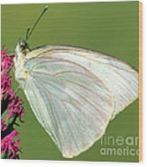 Great Southern White Butterfly Wood Print