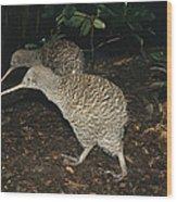 Great Spotted Kiwi Breeding Pair New Wood Print