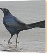 Great-tailed Grackle Wading Wood Print