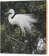 Great White Egret Building A Nest Vii Wood Print