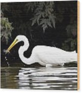 Great White Egret Eating Fish 2 Wood Print