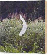 Great White Egret Flying 2 Wood Print