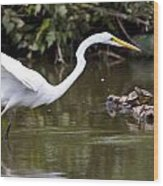 Great White Egret Looking For Fish 1 Wood Print