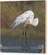 Great White Egret Preening Wood Print