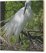 Great White Egret Primping Wood Print