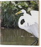 Great White Egret Show Off Wood Print