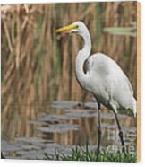 Great White Egret Taking A Stroll Wood Print