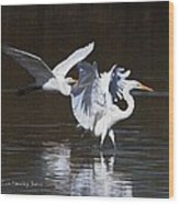 Greater Egrets Meet Up  Wood Print
