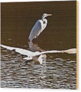 Greater Egrets Meeting Up Wood Print